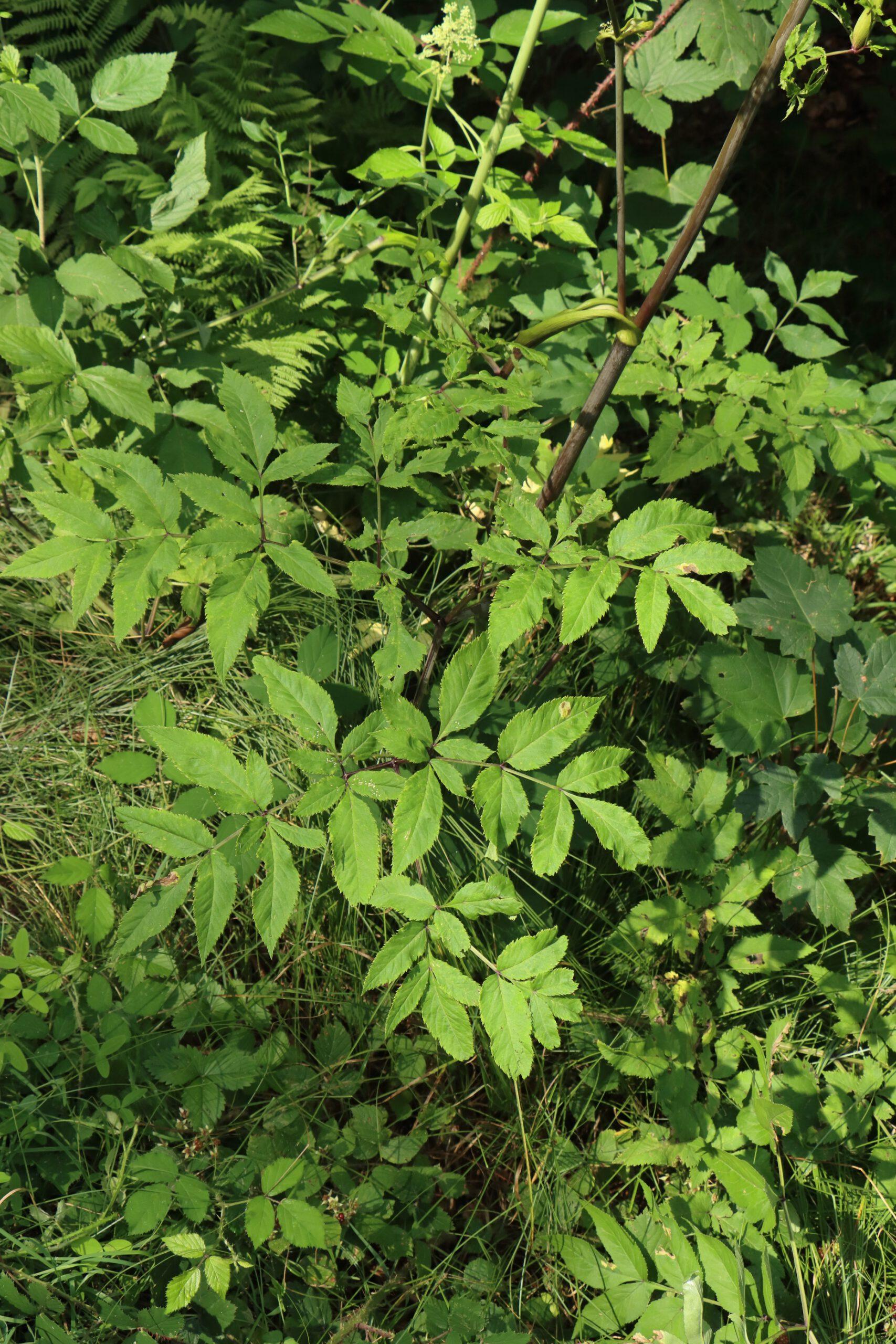 Blätter des Wald-Engelwurz
