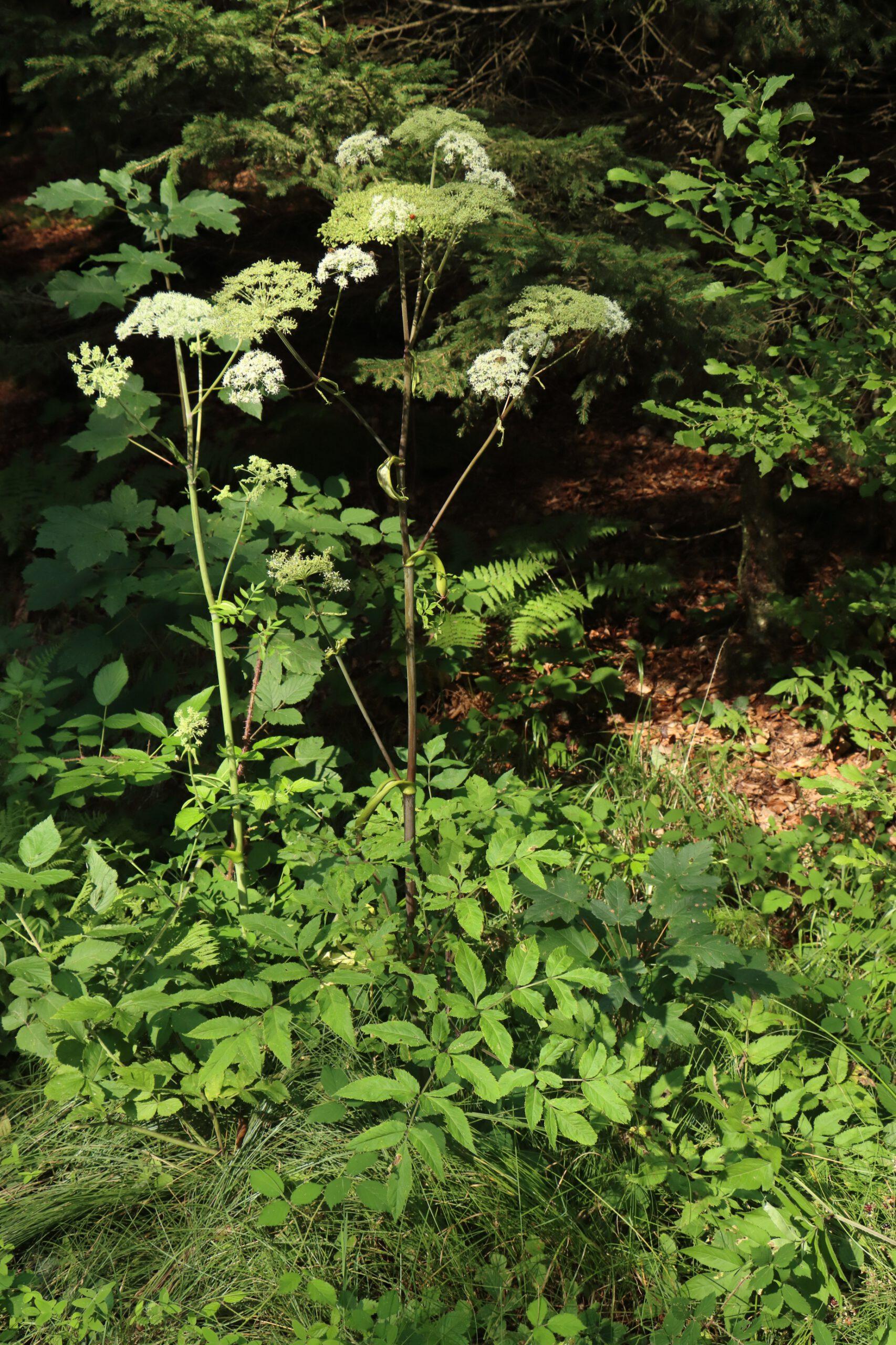 Wald-Engelwurz - Gesamte Pflanze