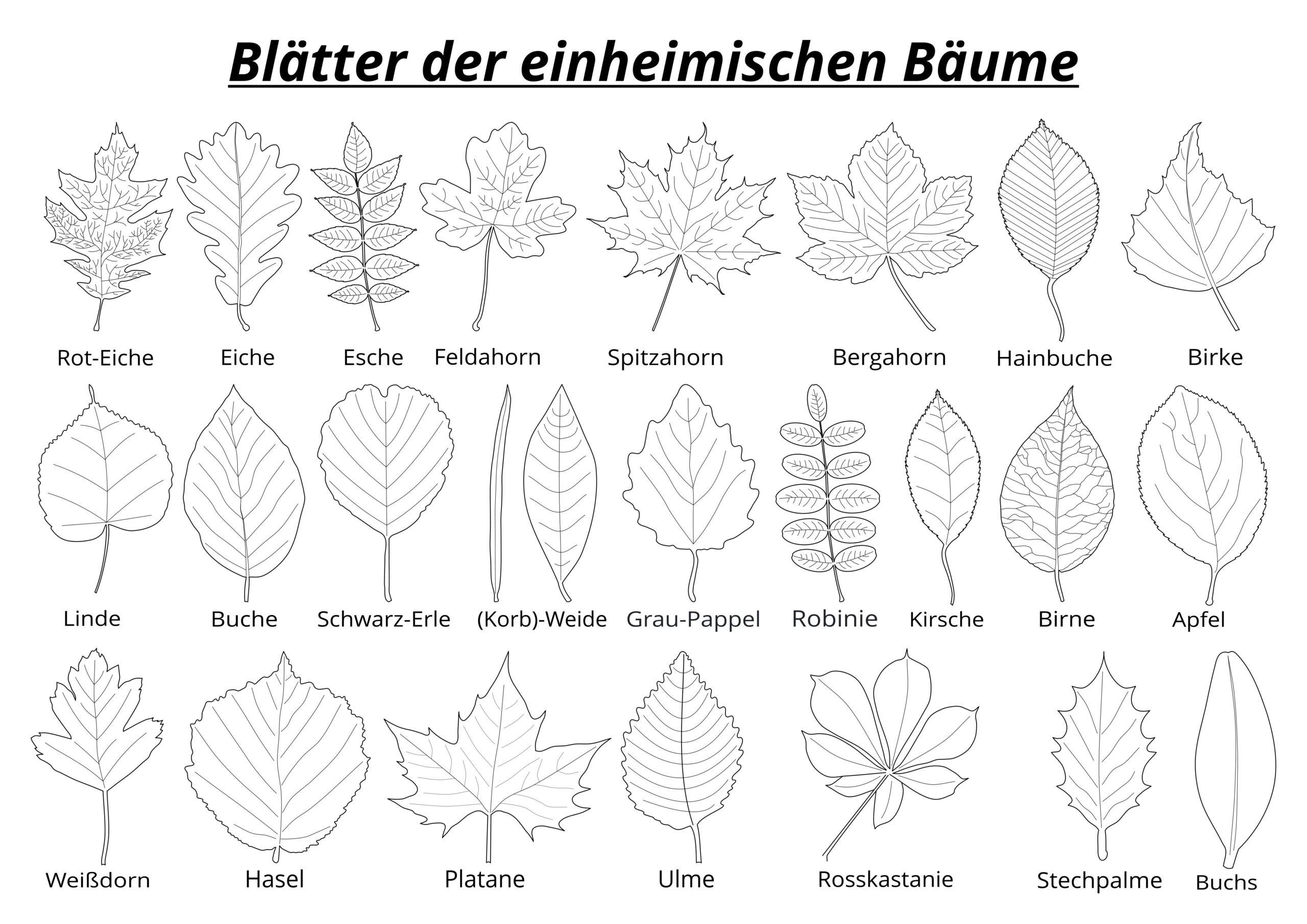 Blätterformen der einheimischen Baumarten auf einen Blick - Blätter einheimischer Bäume