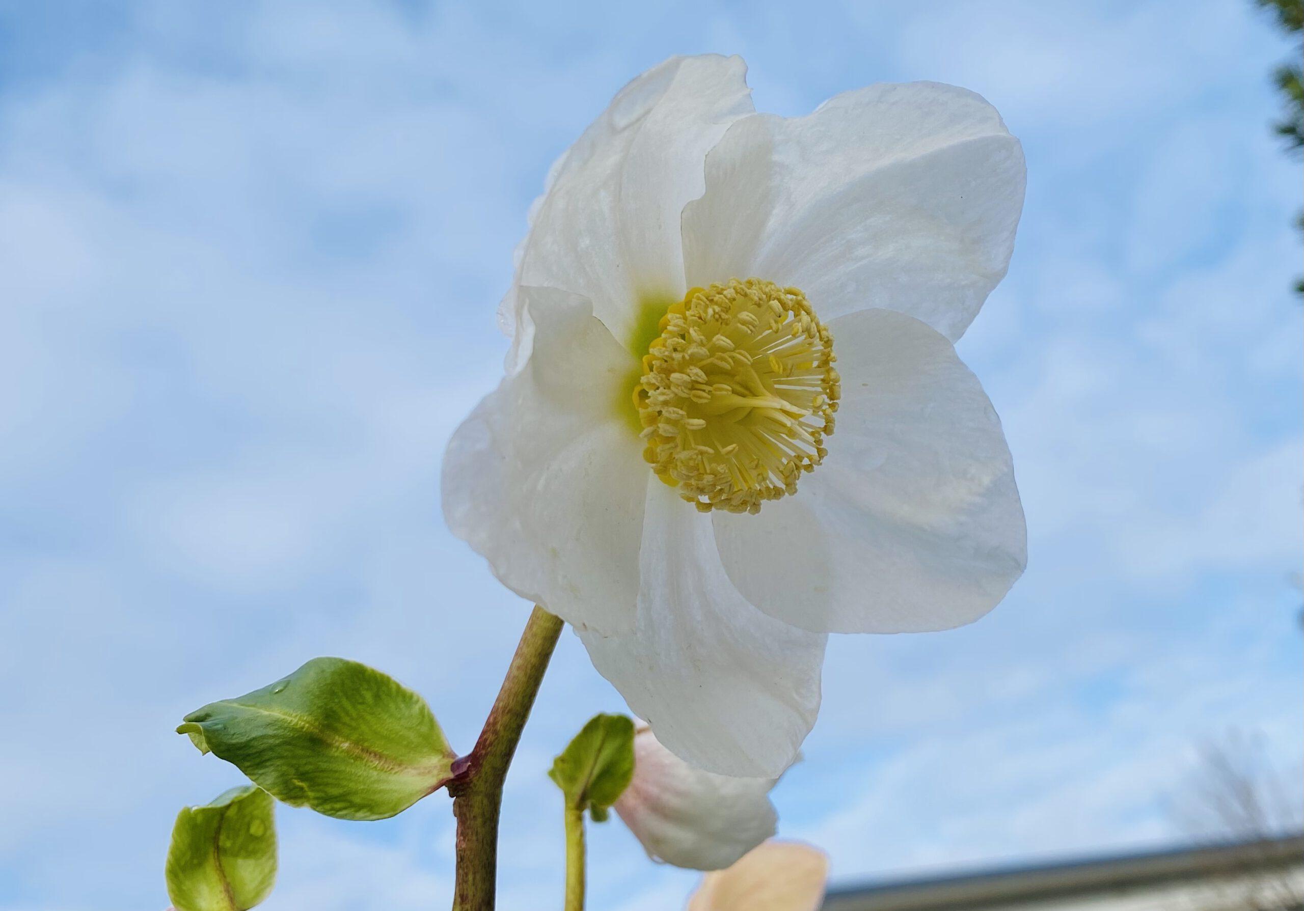 Christrose - Blüte weiß im Detail