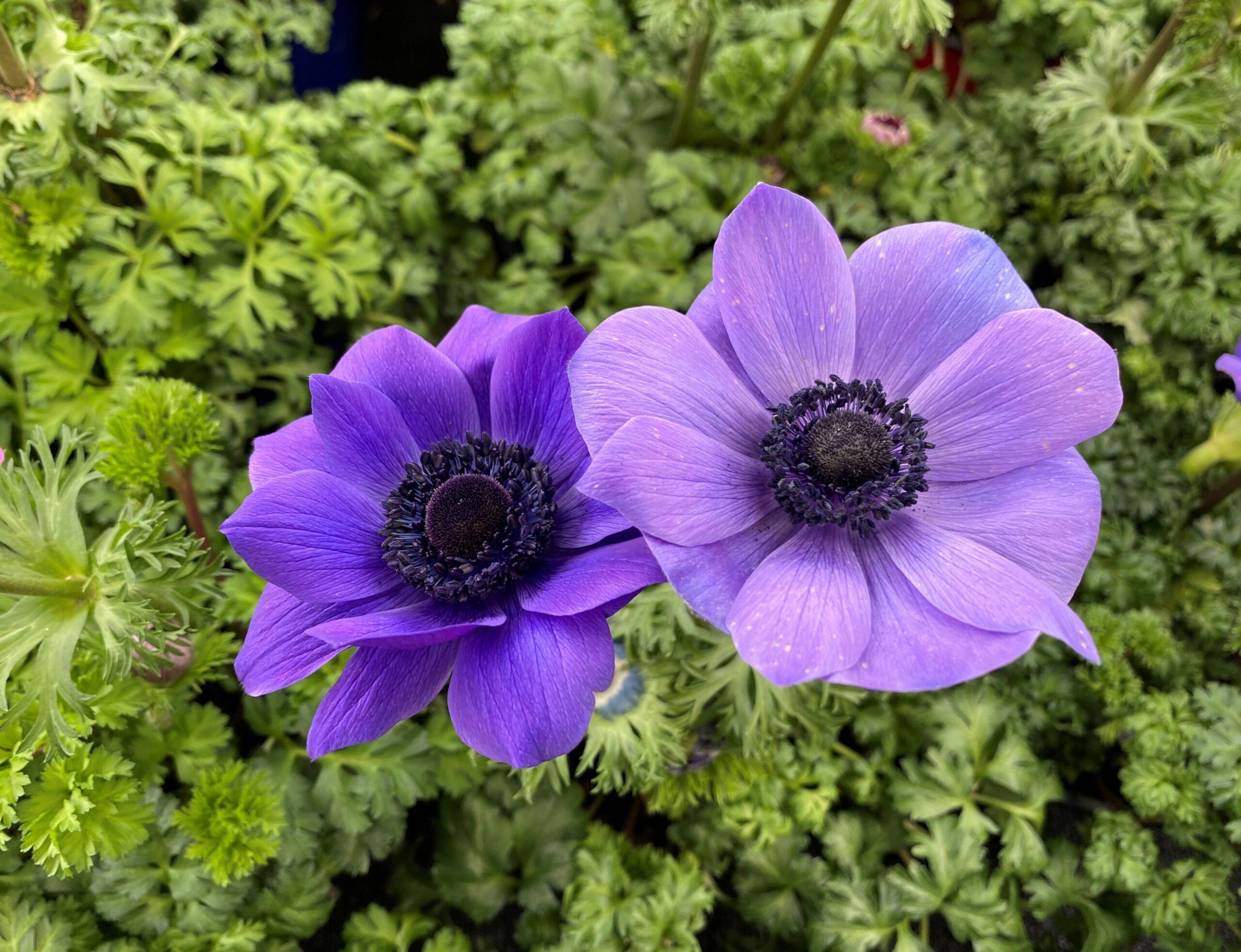 Kronen-Anemone - Blüte violett