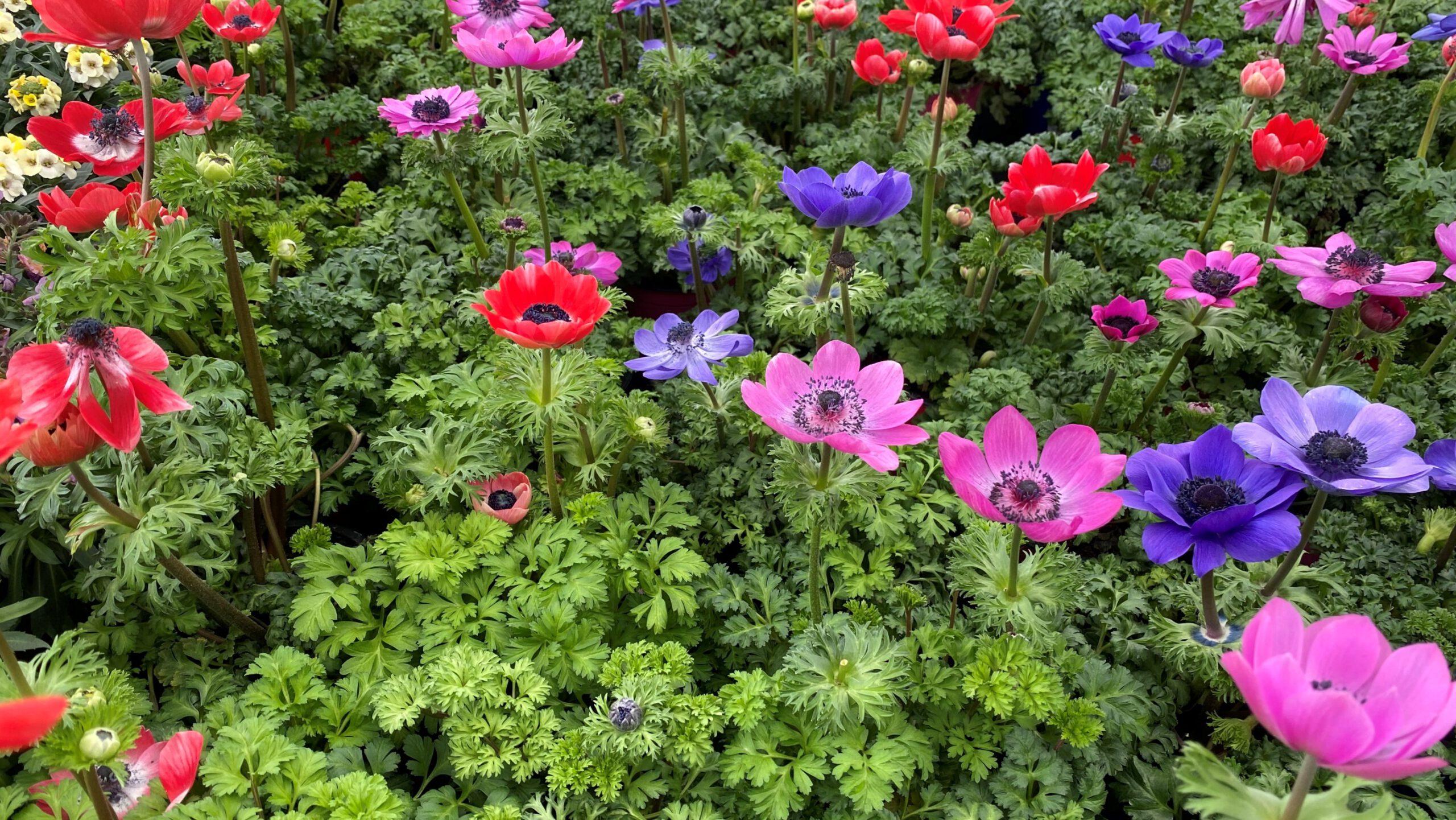Kronen-Anemone - Blütengruppe