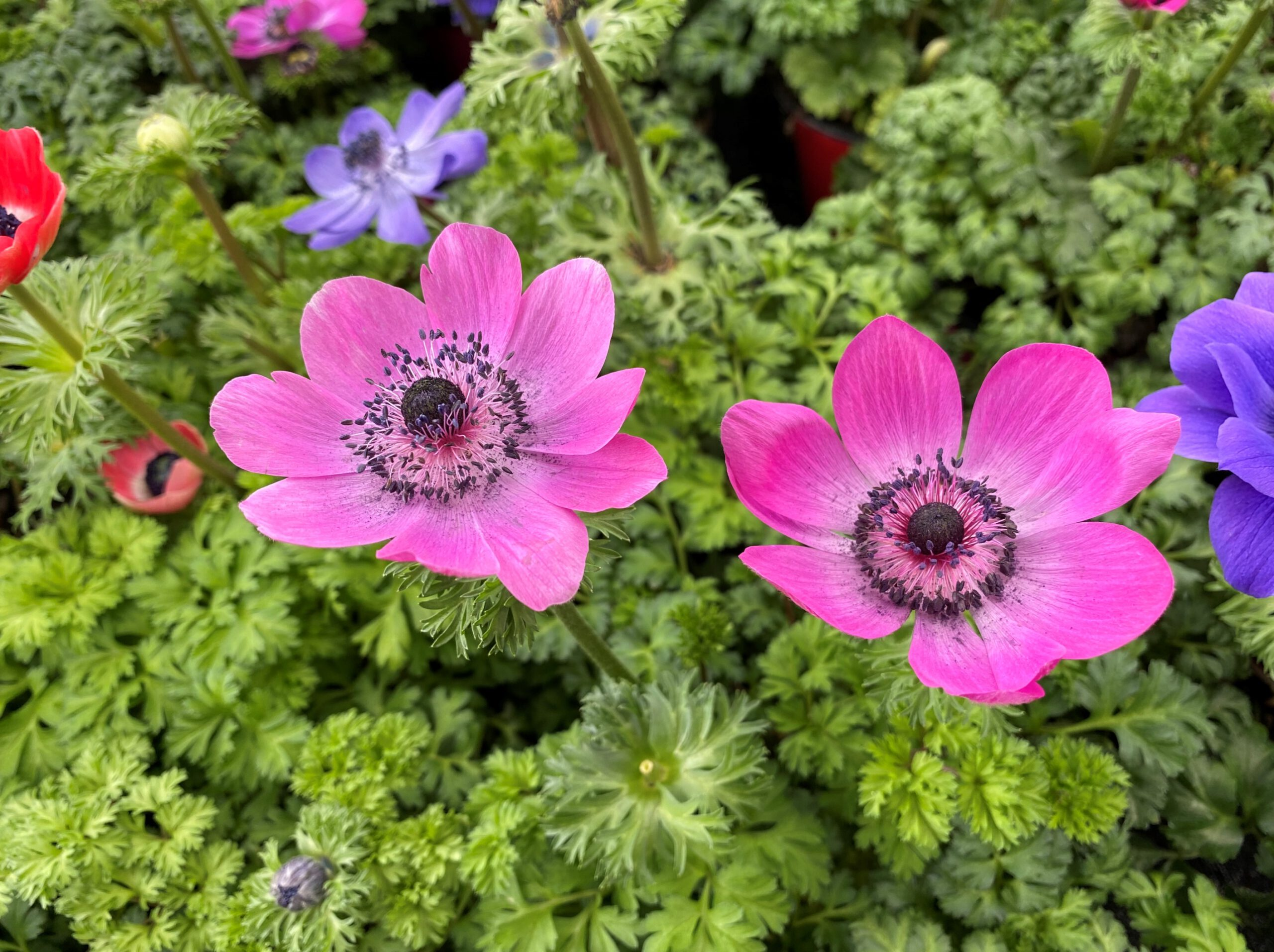 Kronen-Anemone - Blüte rosa