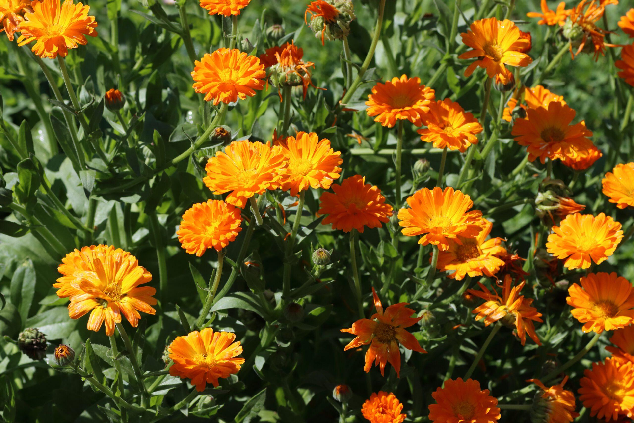 Ringelblume - Blütengruppe