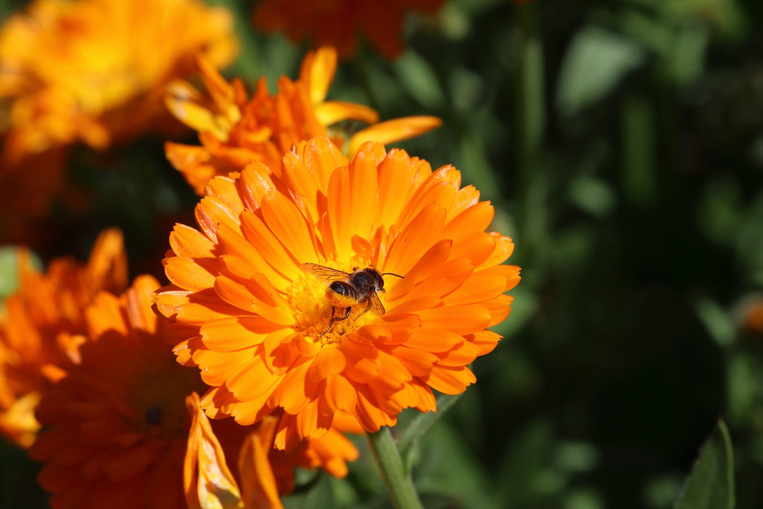 Ringelblume mit Biene