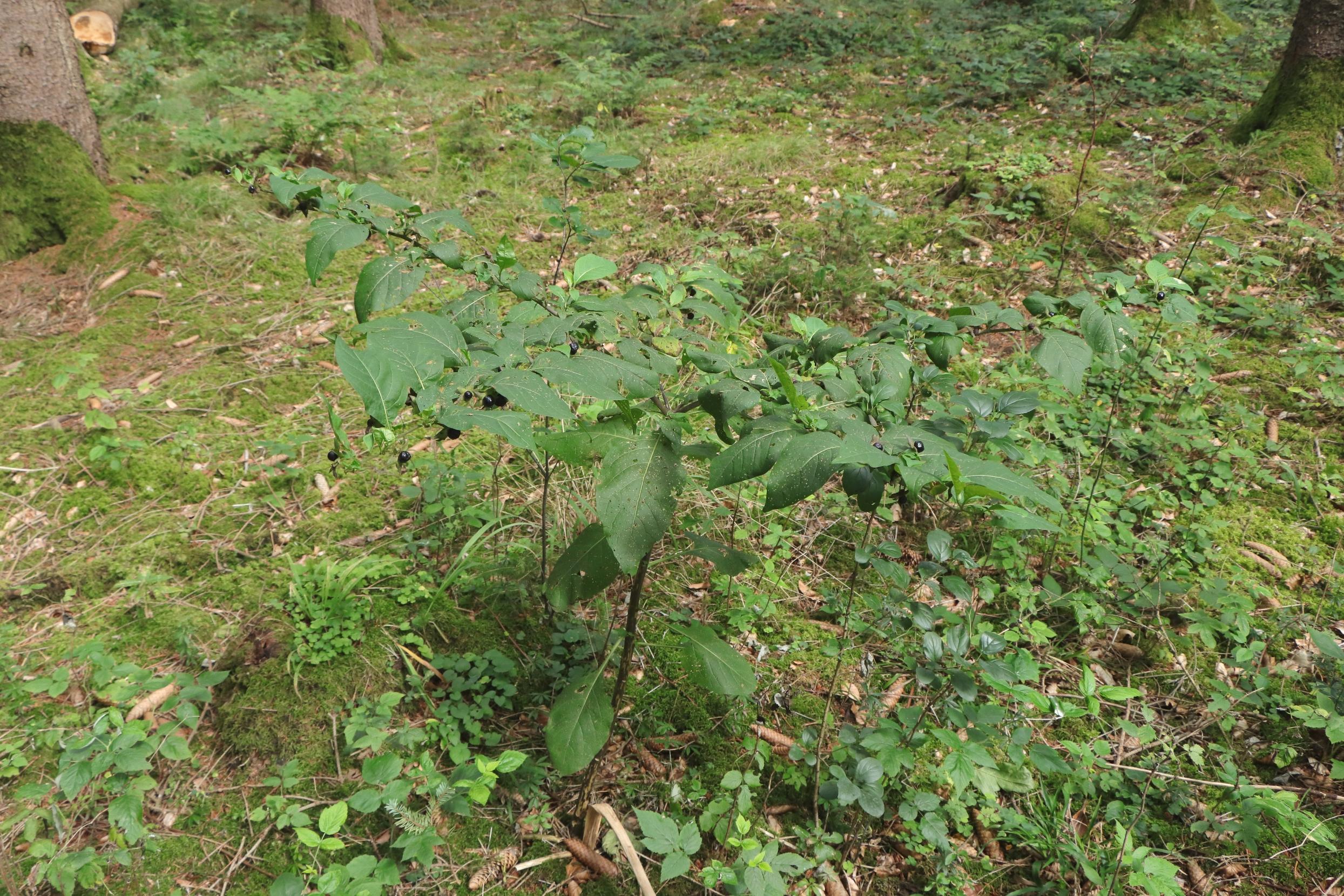 Tollkirsche - Gesamte Pflanze