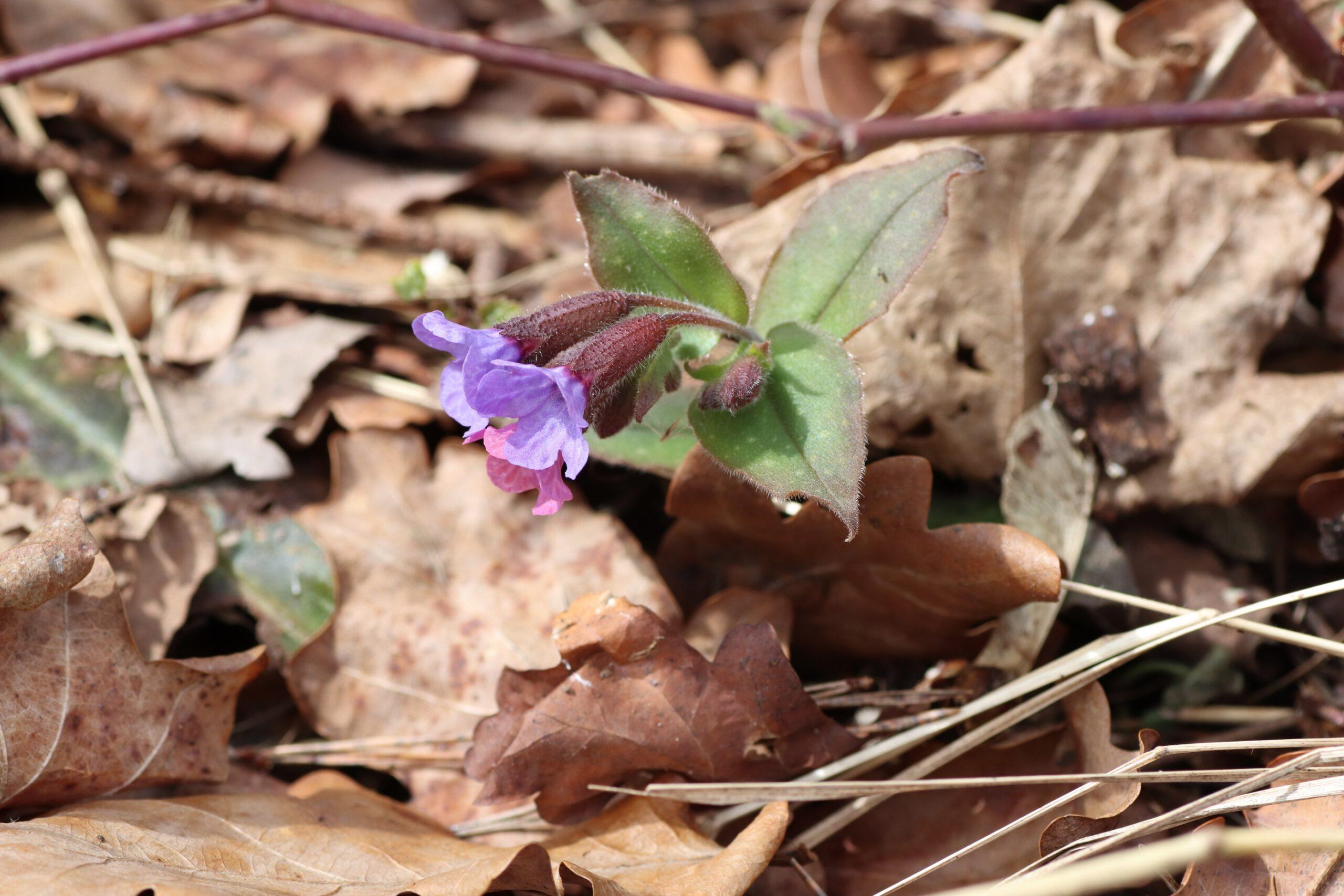 Geflecktes Lungenkraut - einzelne Blüte