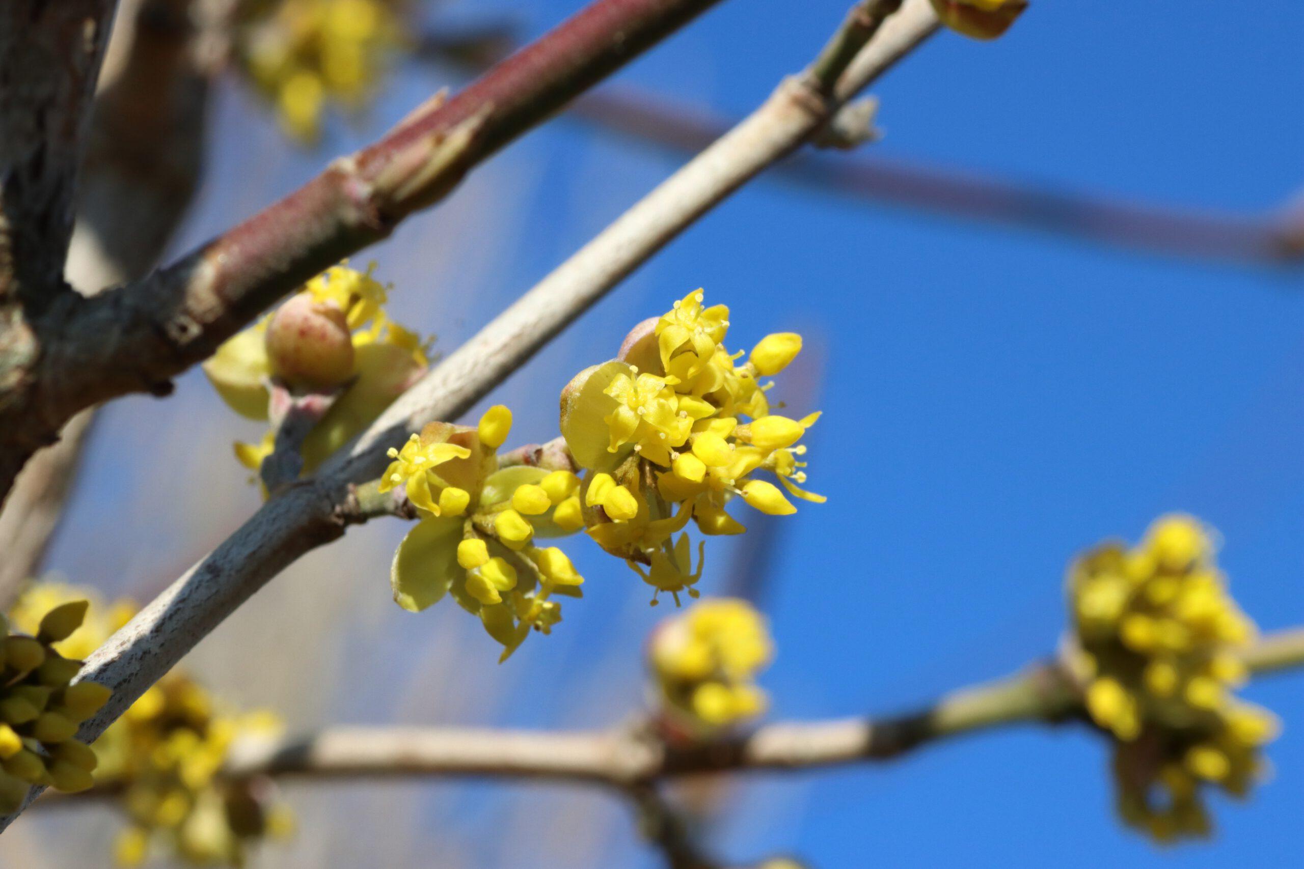 Kornelkirsche - Gelbe Blüte im Detail