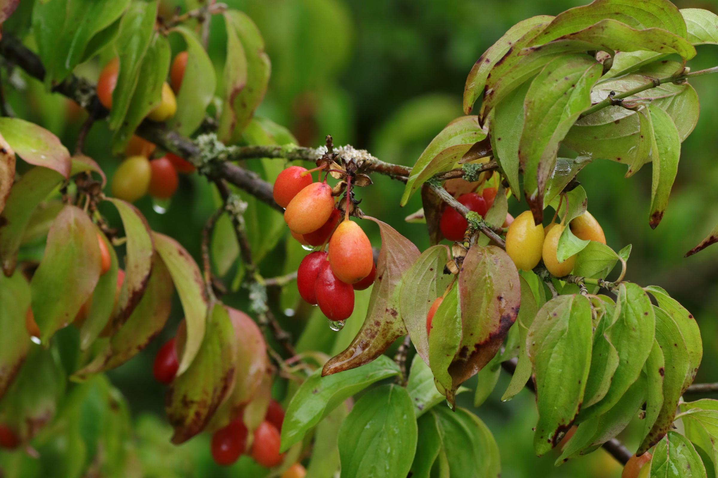 Kornelkirsche - Rote Früchte am Strauch