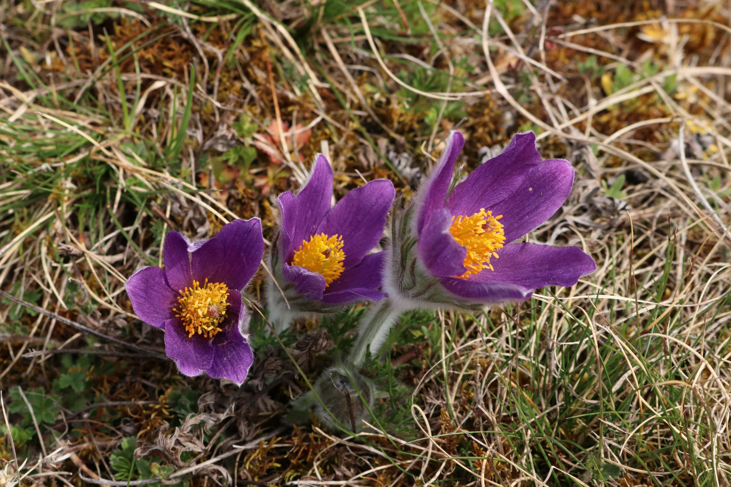 Kuhschelle - Blütengruppe