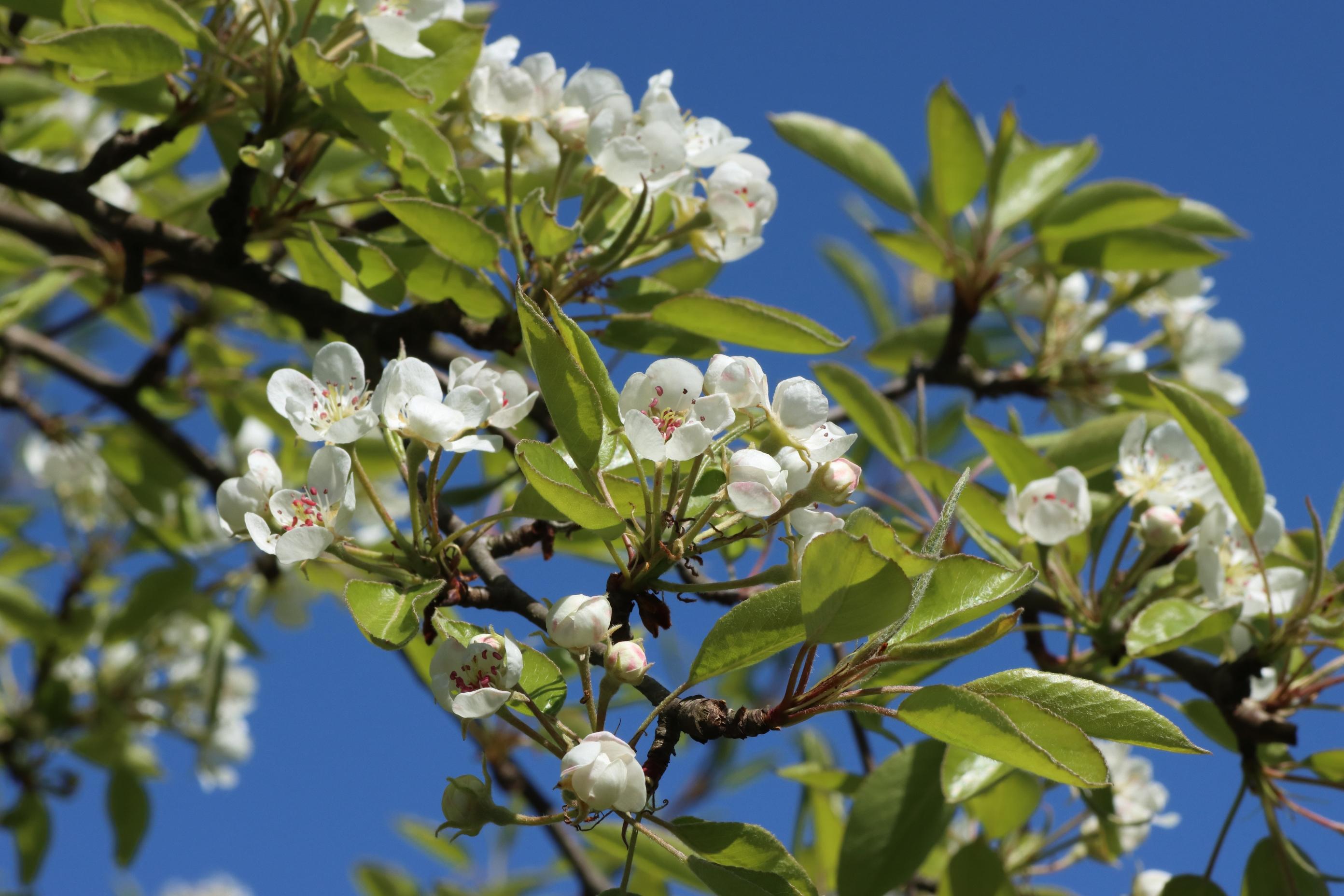 Mostbirne - Blütenstand