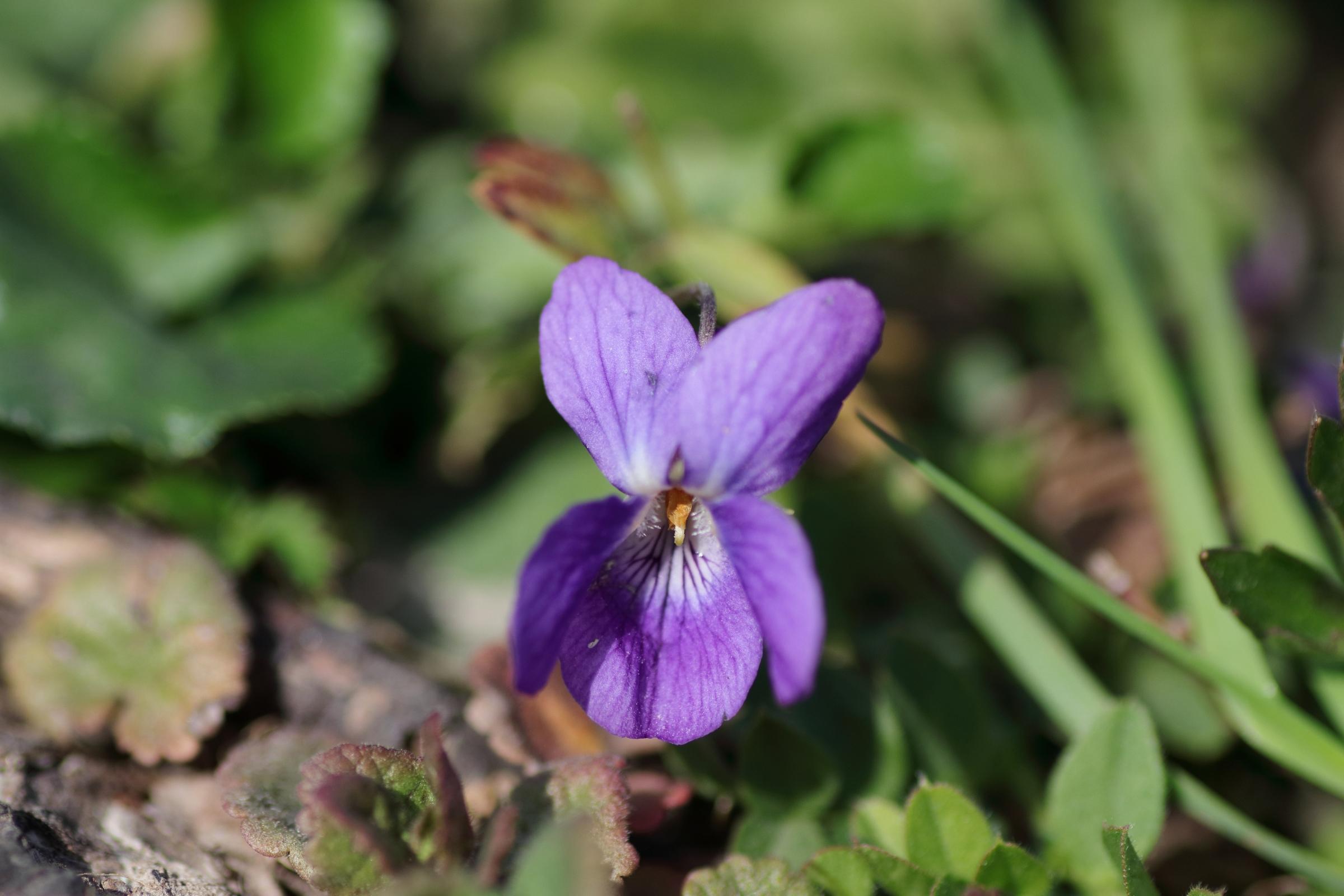 Wohlriechende Veilchen - Blüte