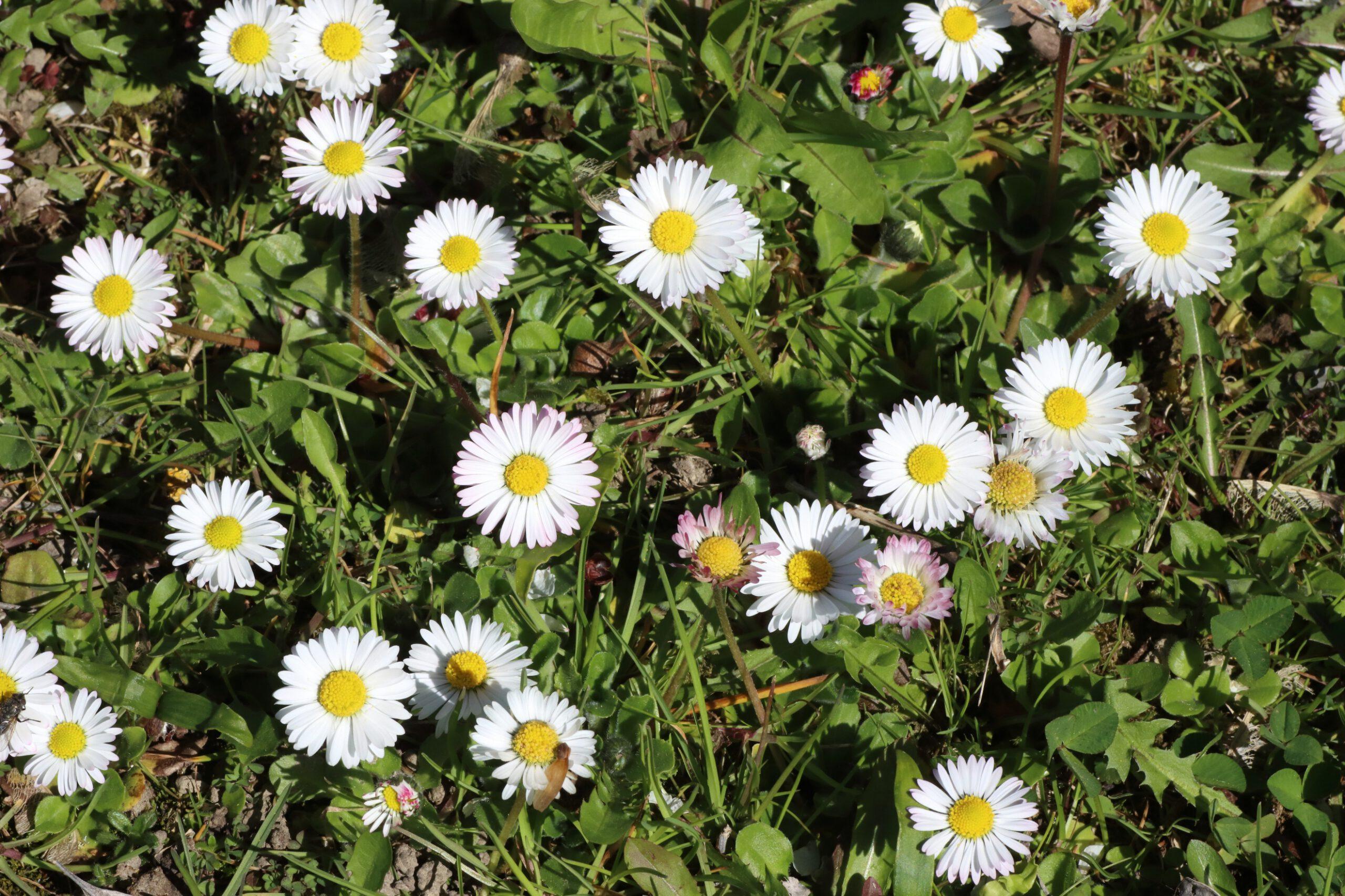 Gänseblümchen - Blütengruppe