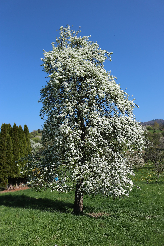 Mostbirne - Gesamter Baum