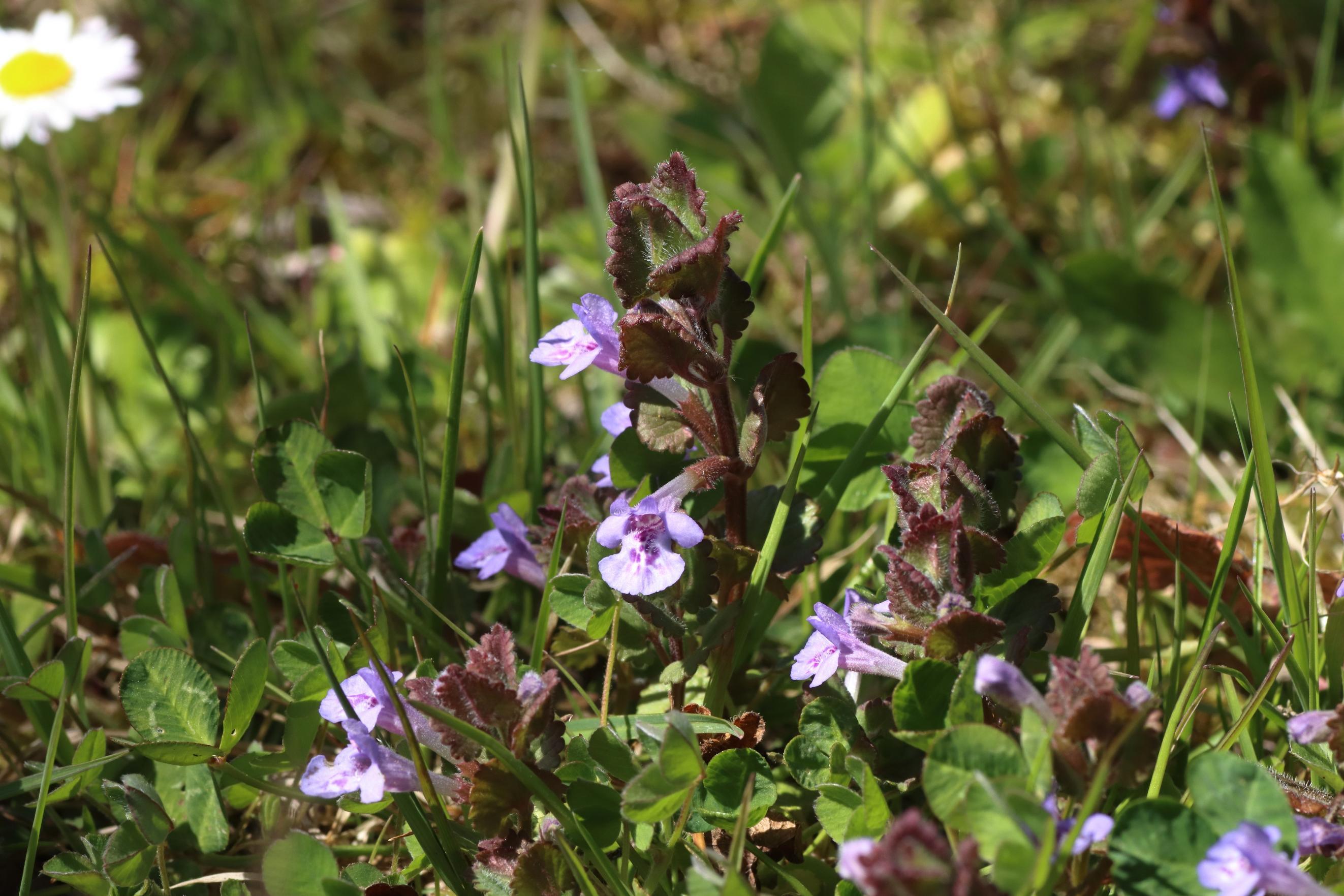 Gundermann - Blütenstand