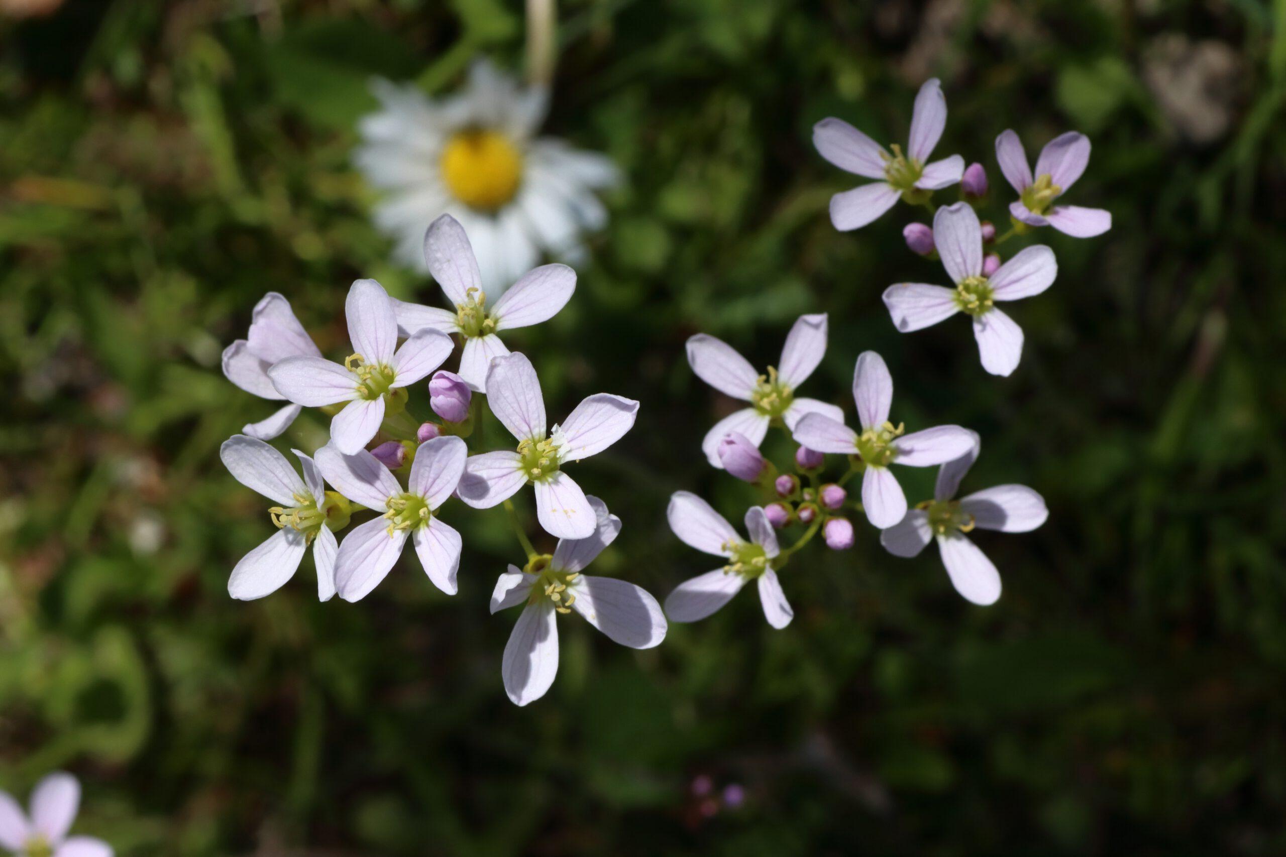 Wiesen-Schaumkraut - Blüten
