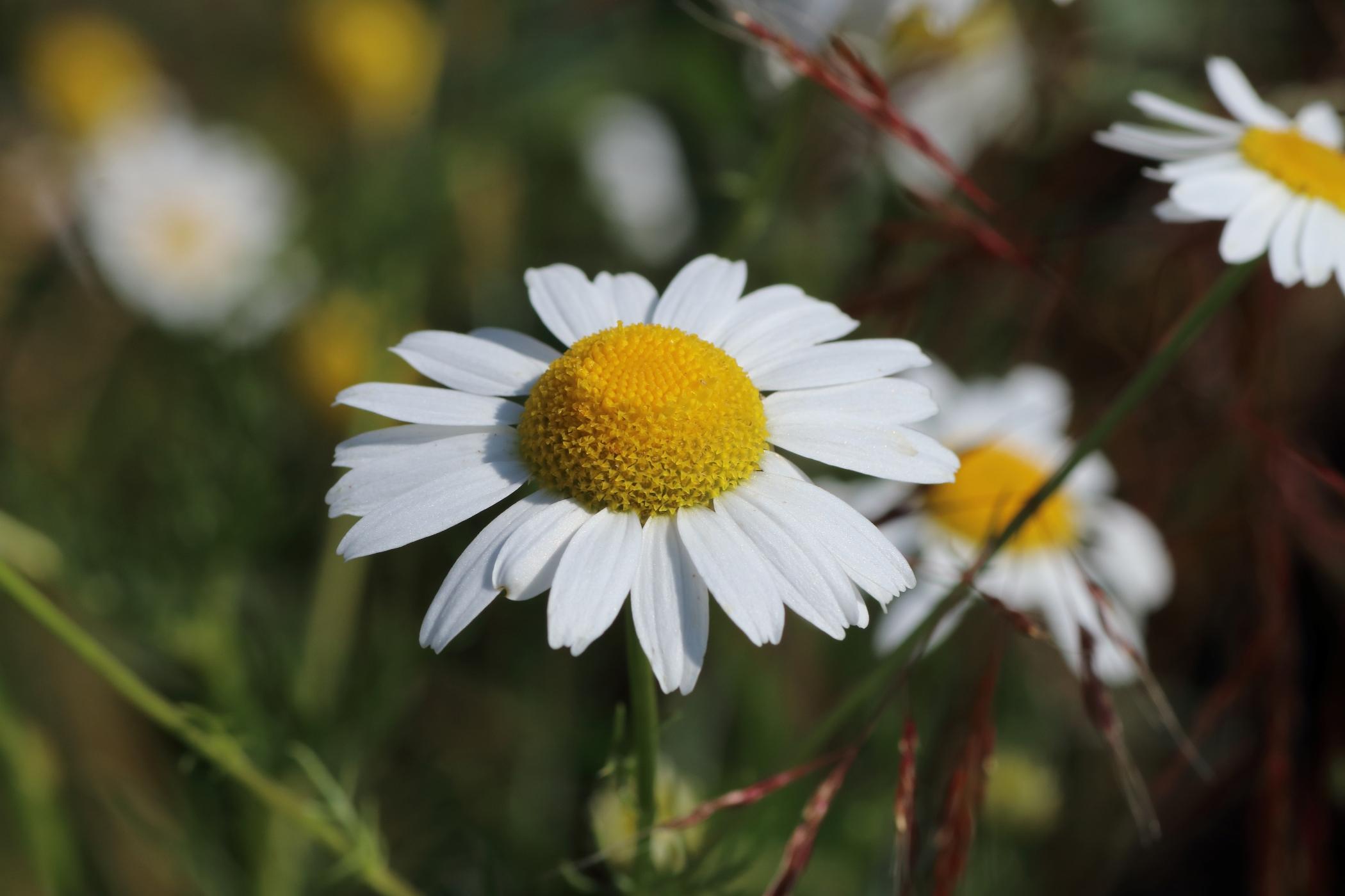 Echte Kamille - Blüte im Detail