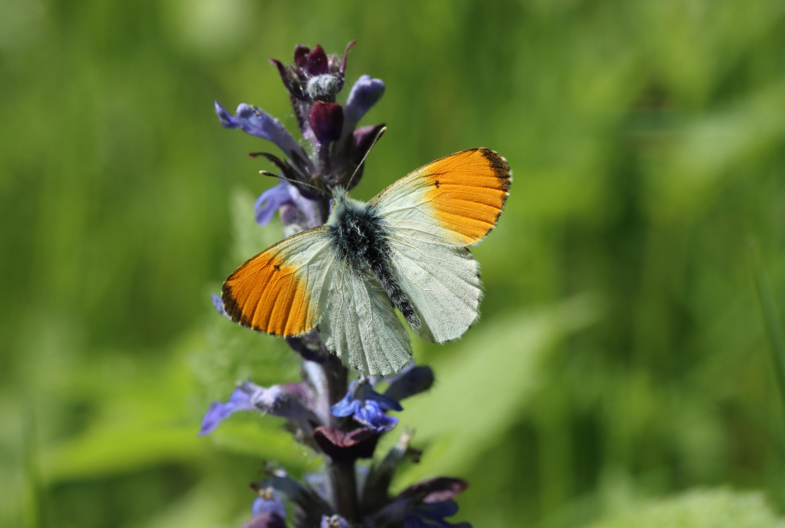 Schmetterlinge - Aurorafalter