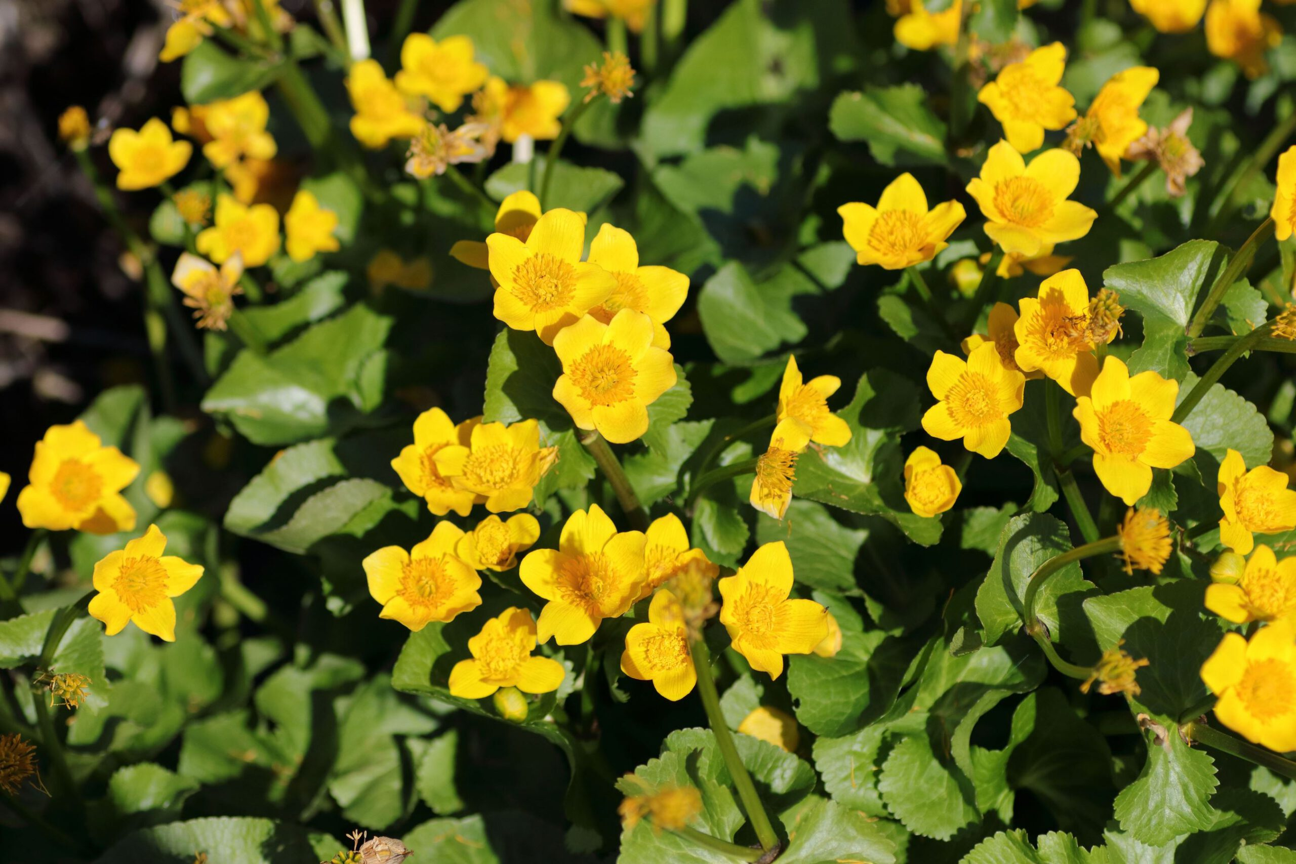 Sumpfdotterblume - Wuchsform der Pflanze