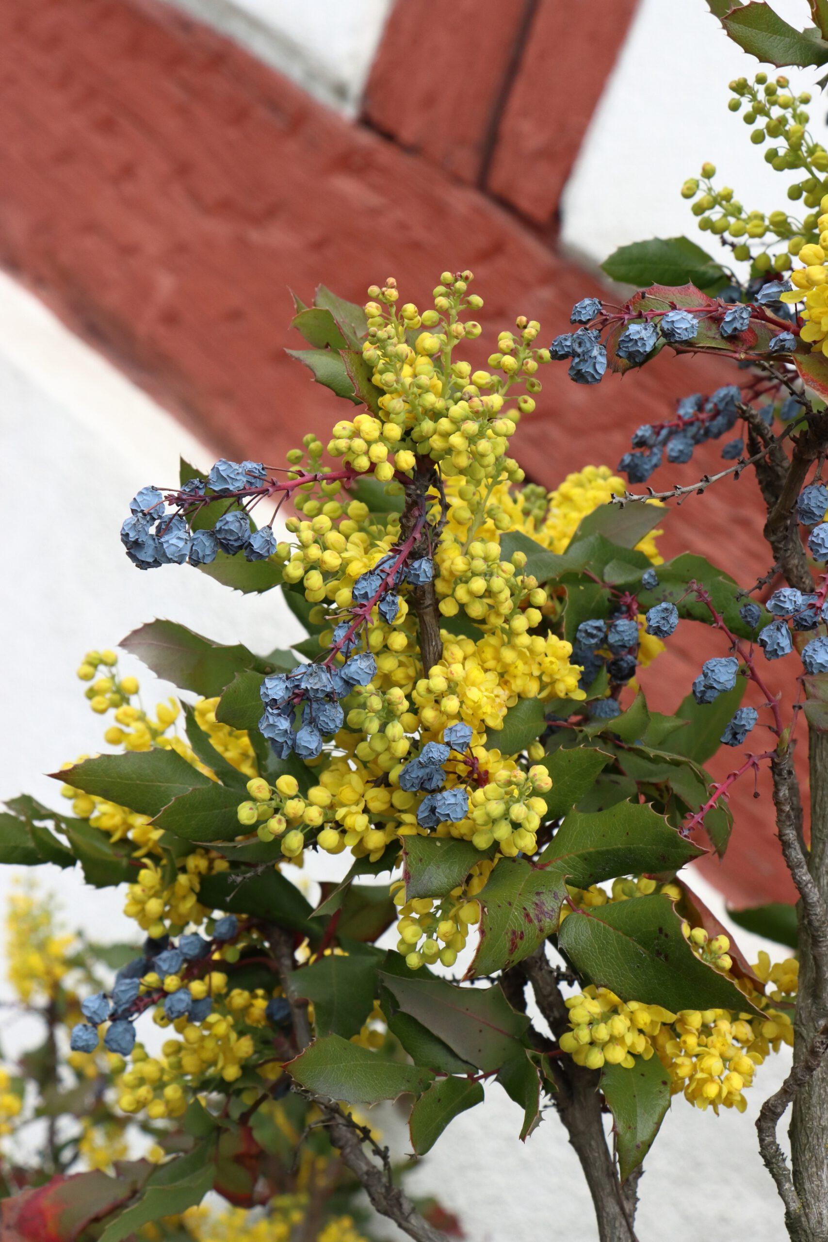Mahonienblüte mit altem Fruchtstand