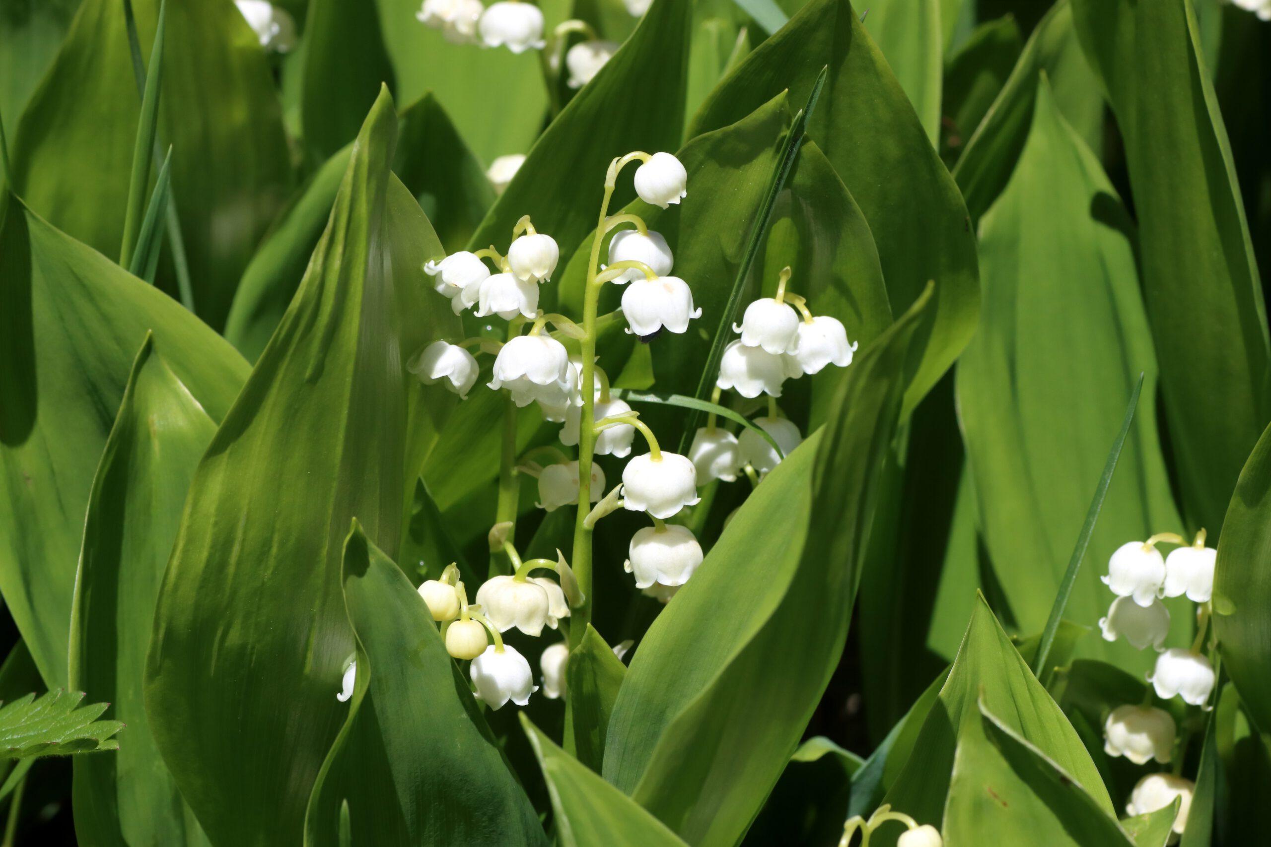 Maiglöckchen - Blüten