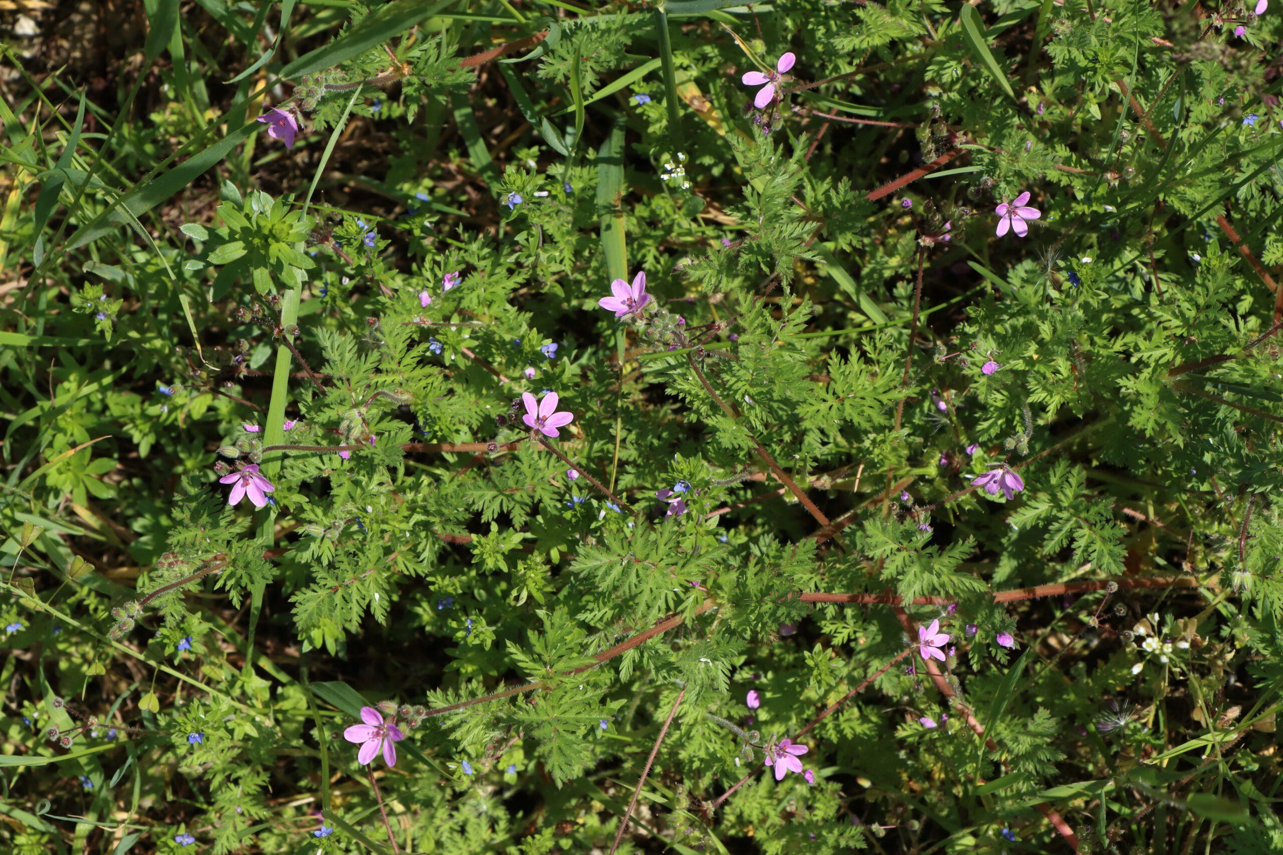 Gewöhnlicher Storchenschnabel - Gesamte Pflanze