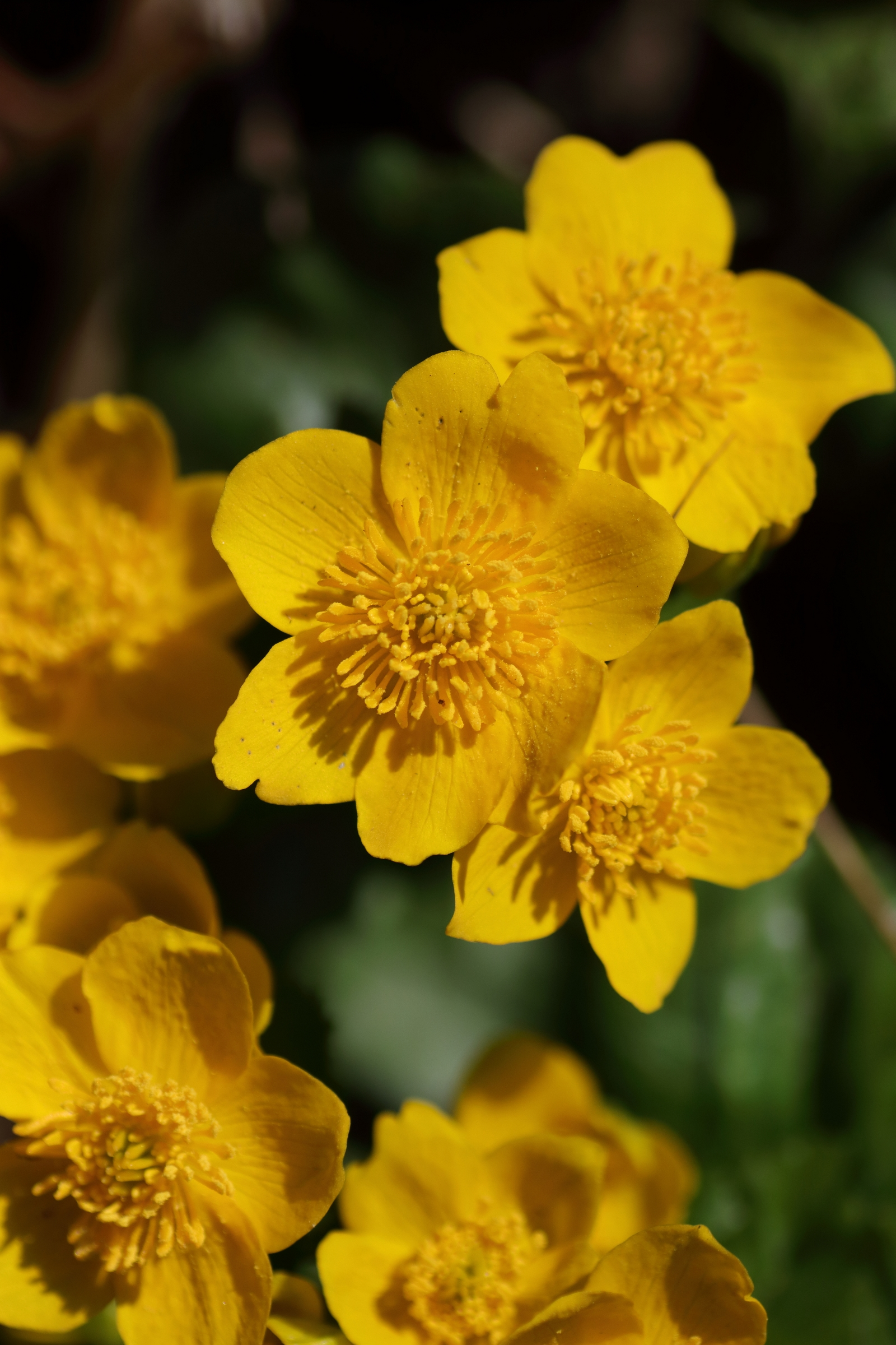 Sumpfdotterblume - Blüte im Detail