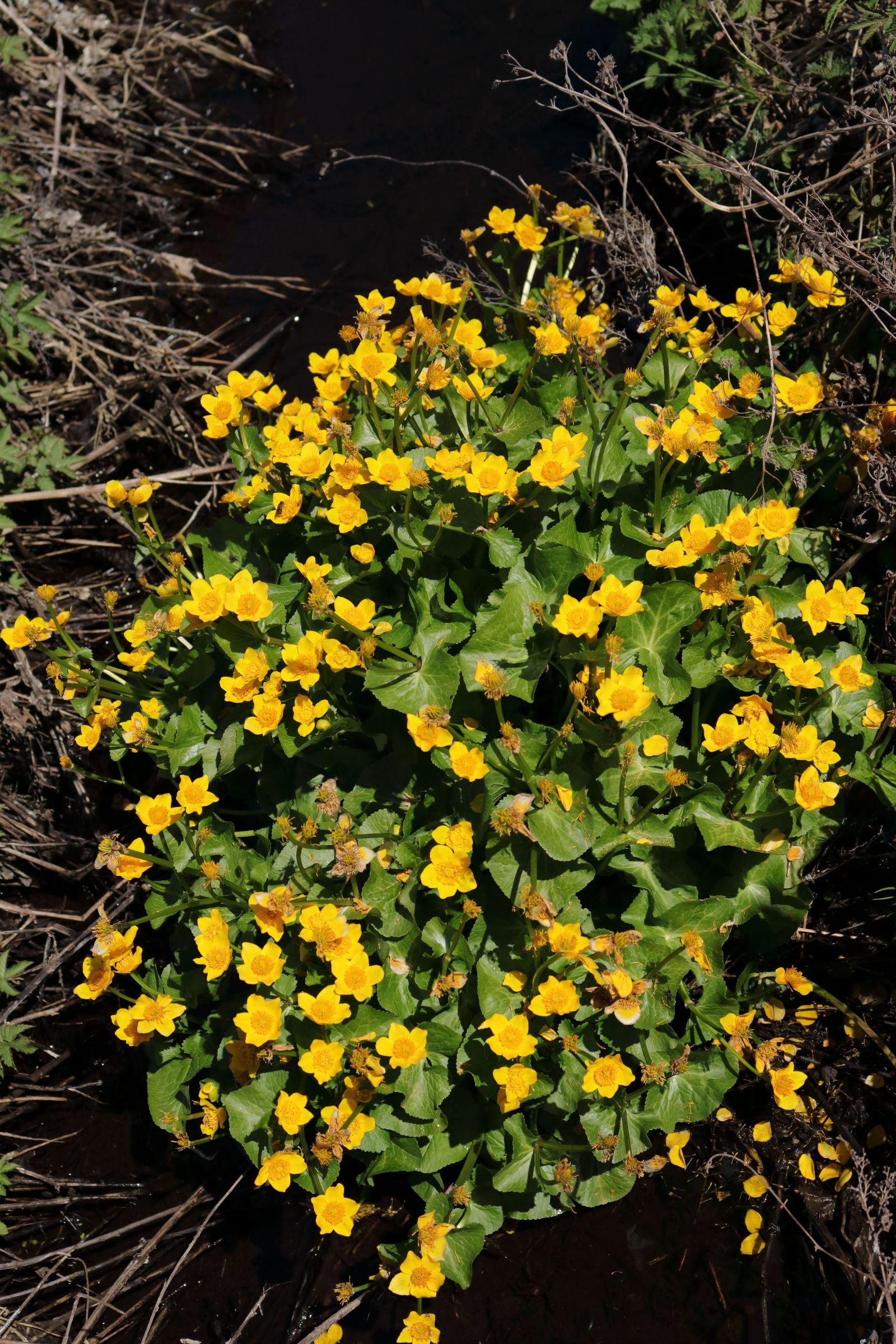 Sumpfdotterblume - Blütengruppe