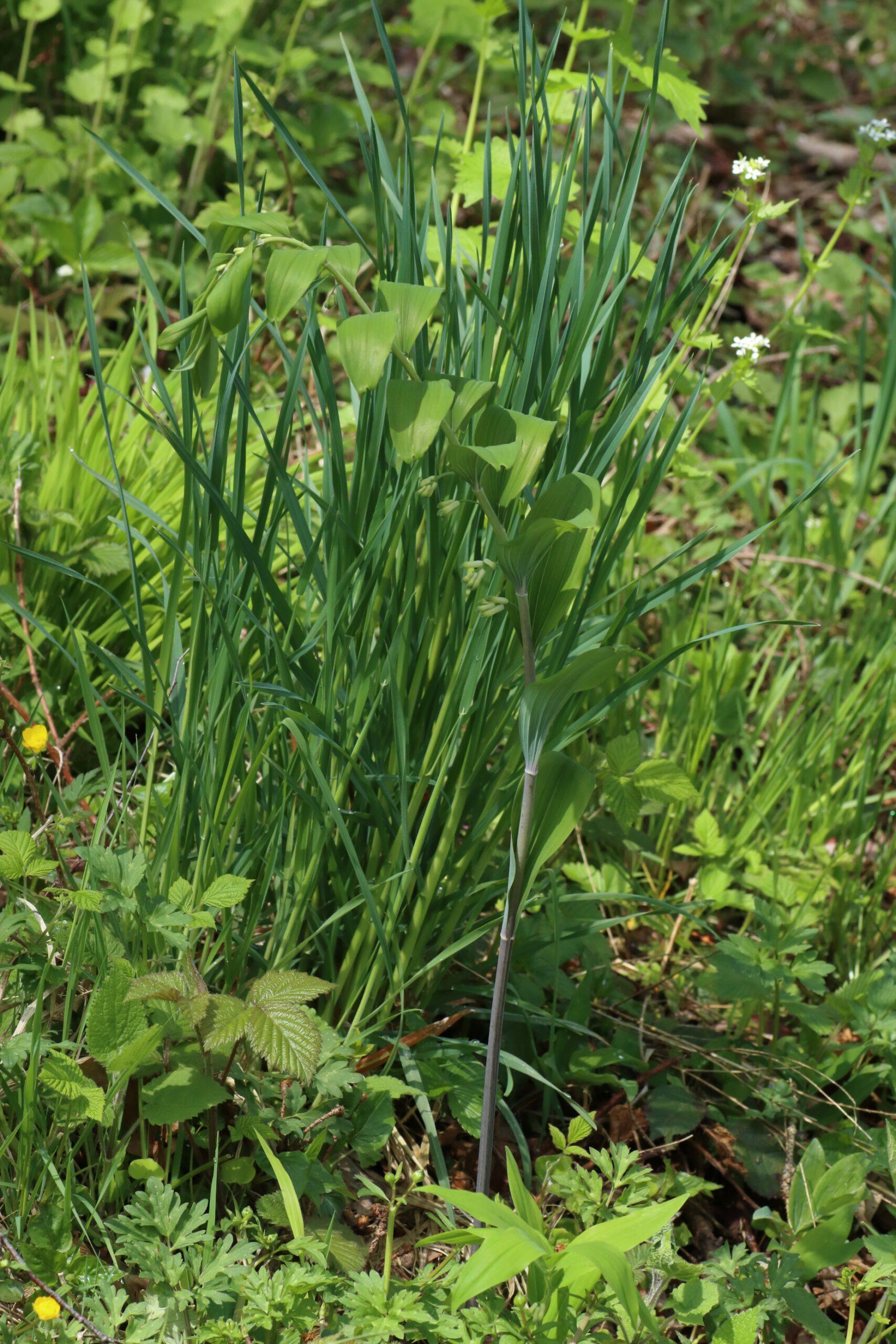 Vielblütige Weißwurz - Gesamte Pflanze