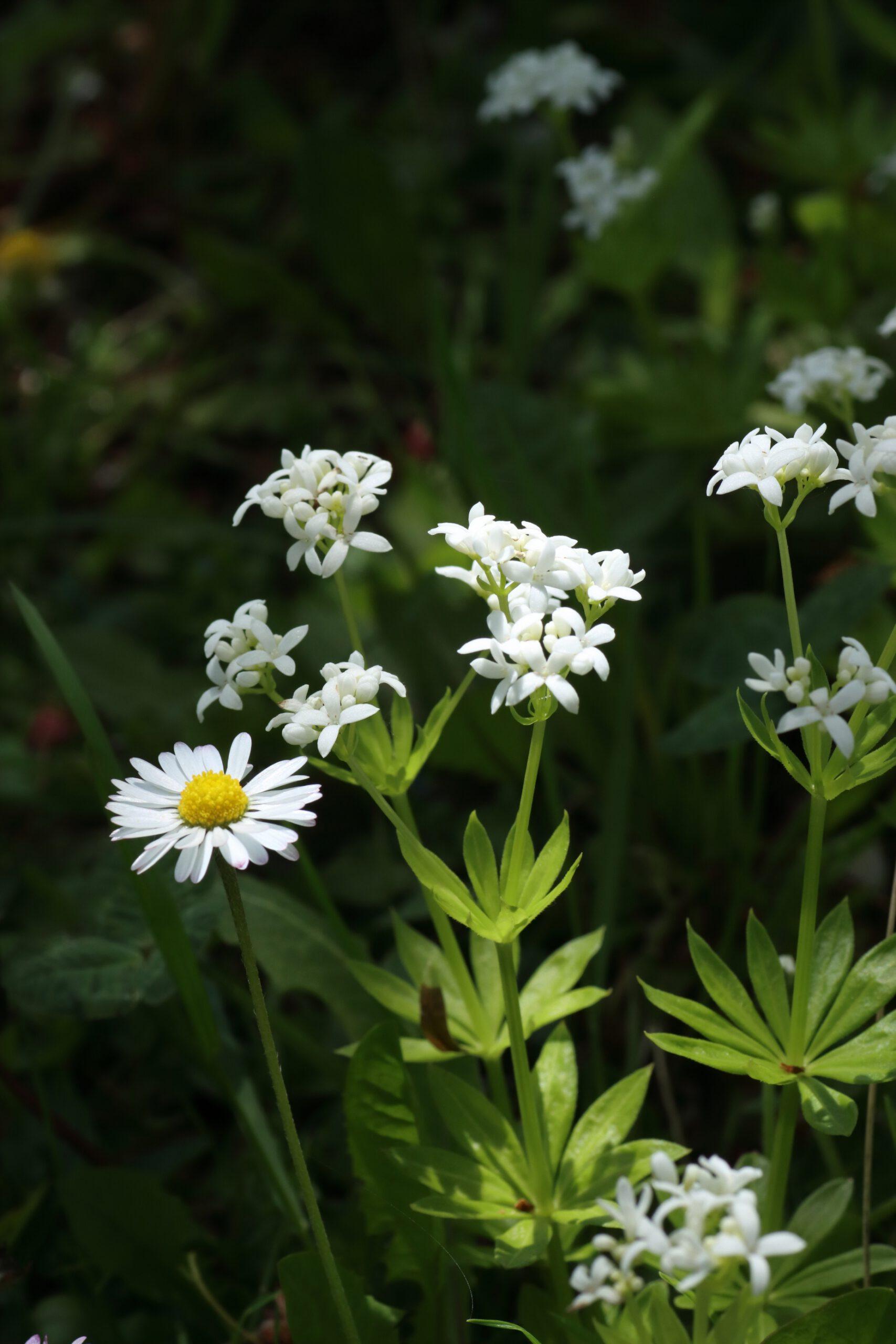 Waldmeister - Blütenstand im Detail