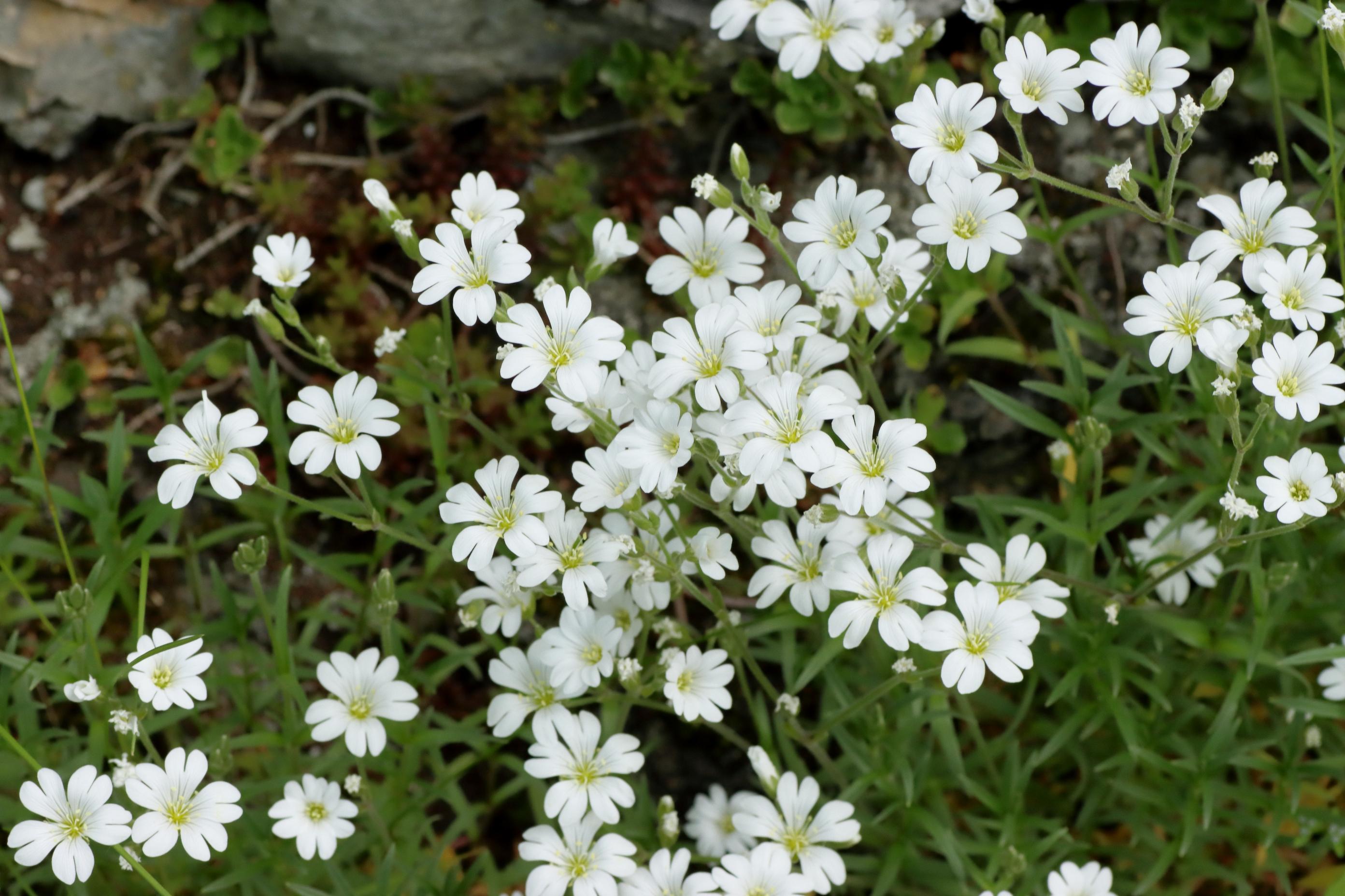 Acker-Hornkraut - Blüten