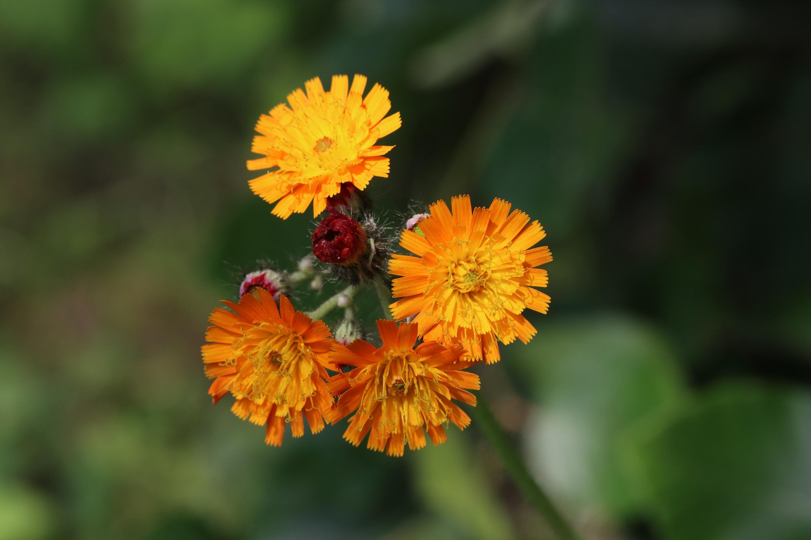 Orangerotes Habichtskraut - Blütenstand