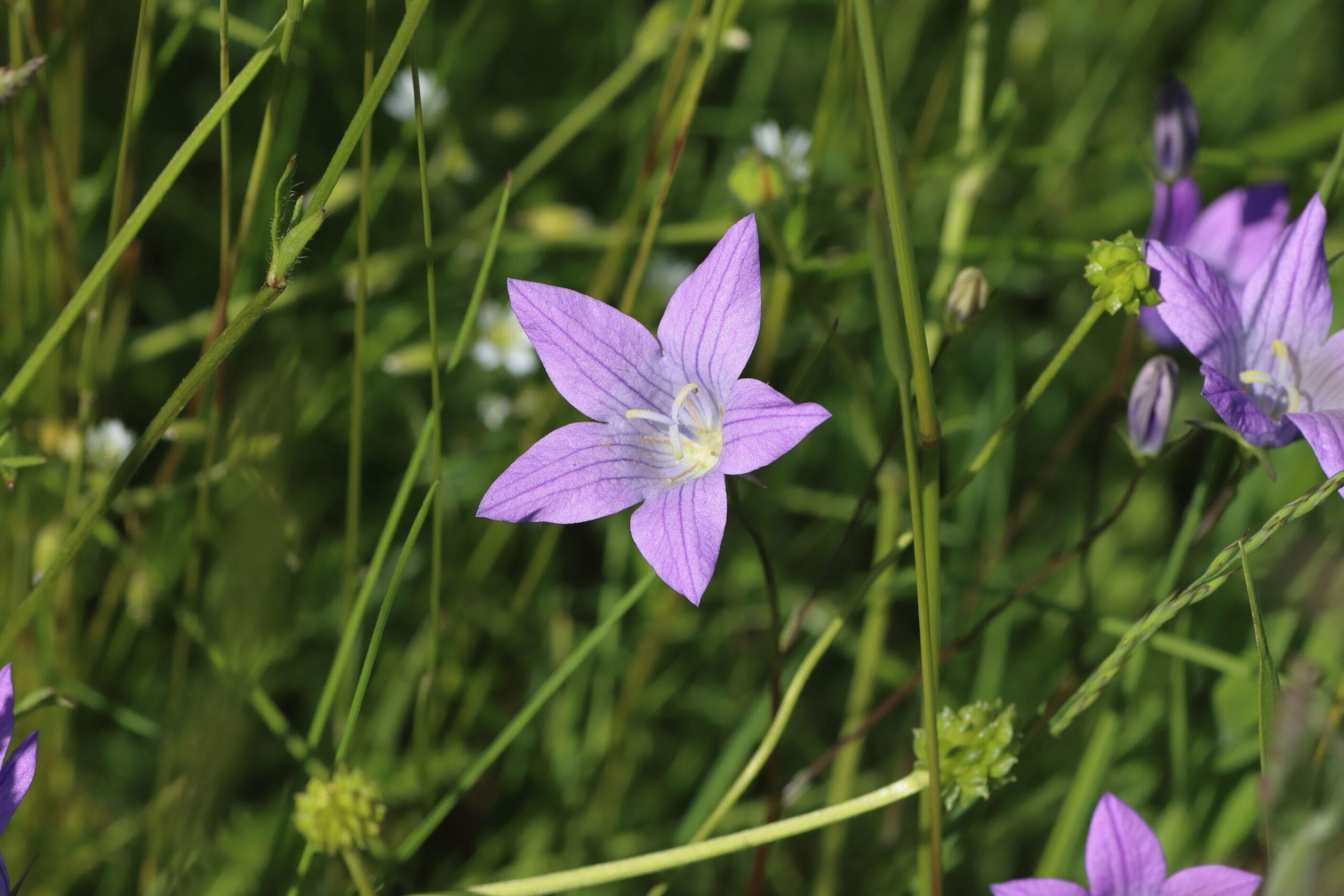Wiesen-Glockenblume im Detail