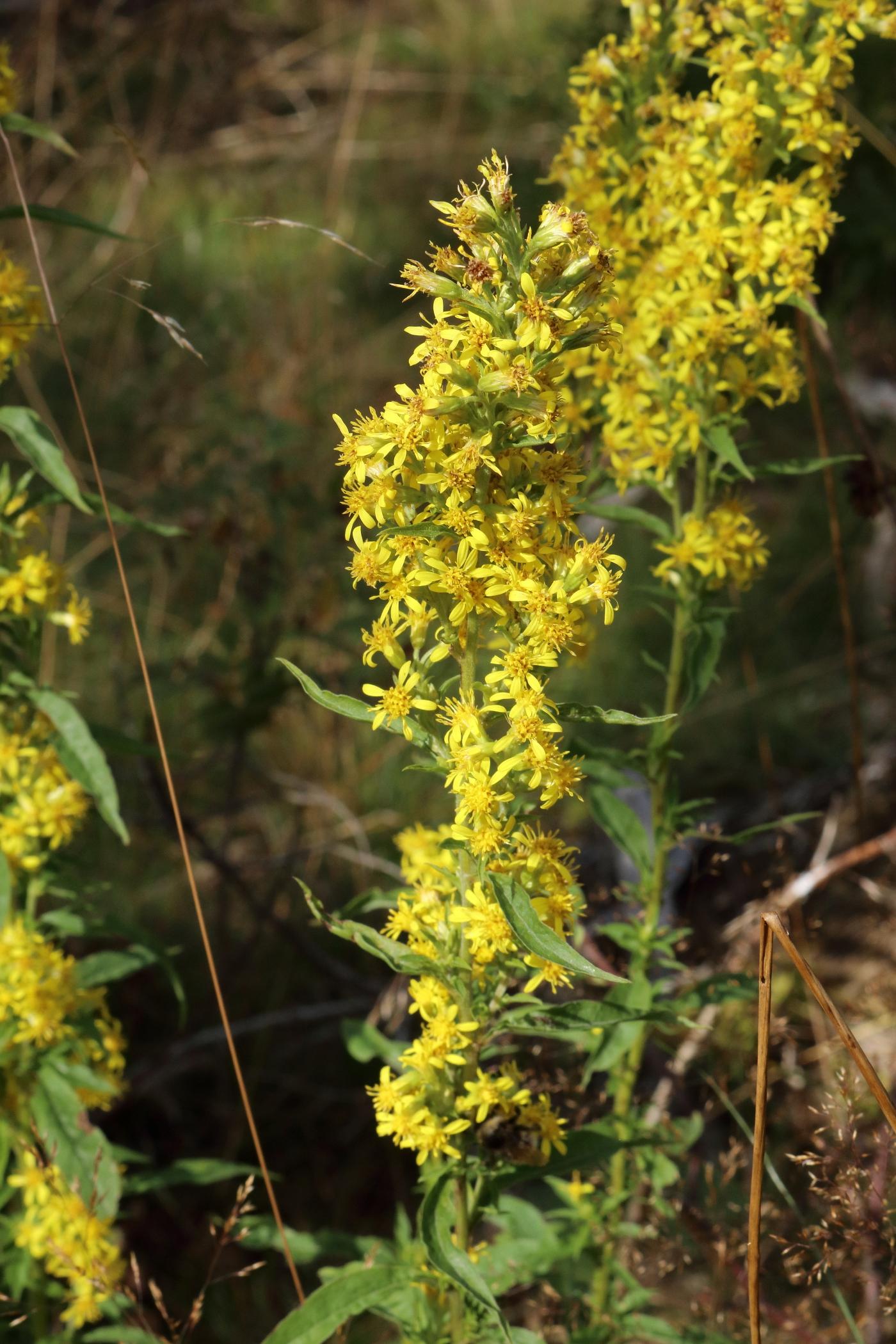 Gewöhnliche Goldrute - Blütenstand