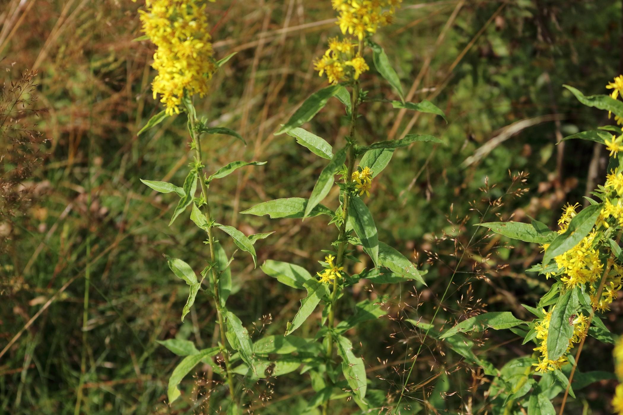 Gewöhnliche Goldrute - Blätter
