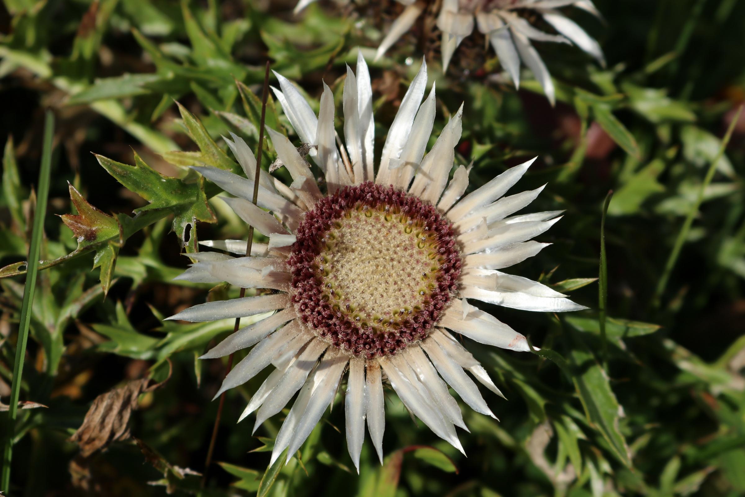 Silberdistel in voller Blüte - die Mitte der Blüte ist weiß gefärbt und von einem Ring von rosa Blüten umgeben